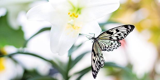 Schmetterling mit offenen Flügeln